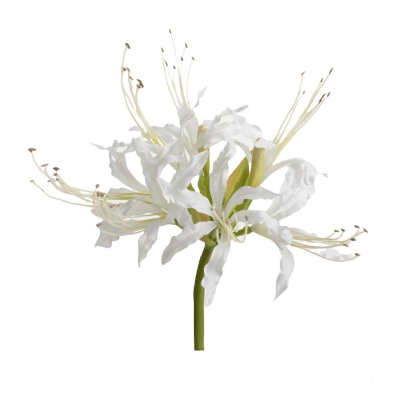 Nerine blanco