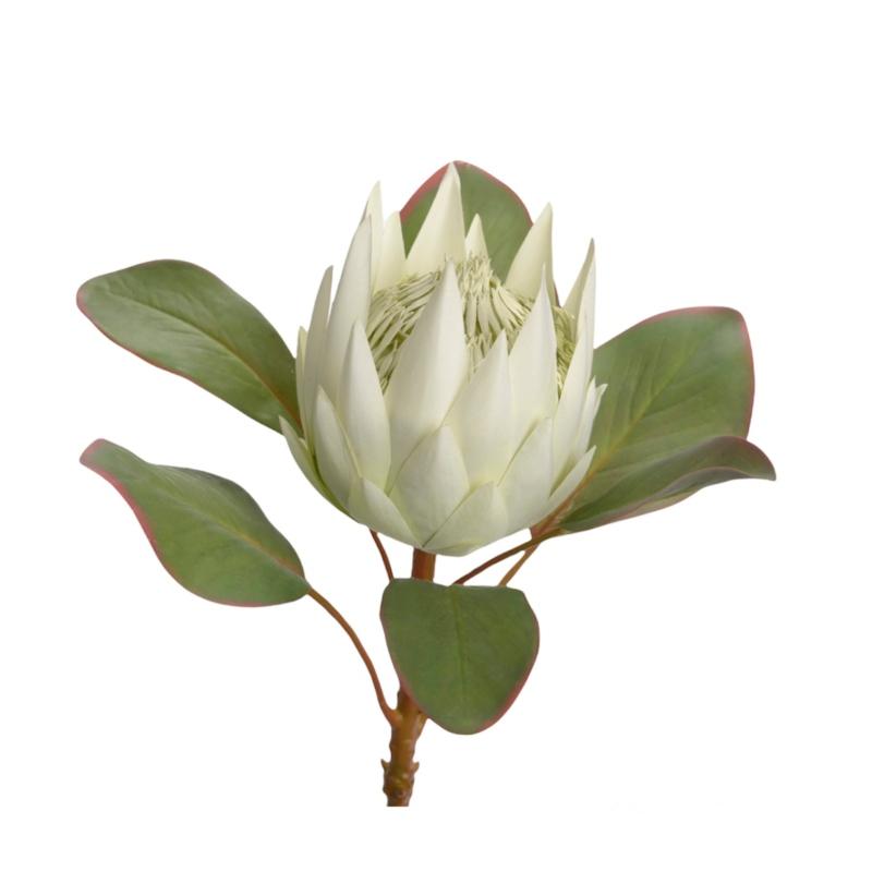 Protea blanco